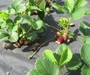 Как красиво посадить клубнику (фото)
