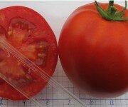 Раннеспелый сорт томат Снеговик F1
