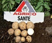картофель Санте (Sante)