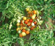 Сорт томата для открытого грунта ГНОМ